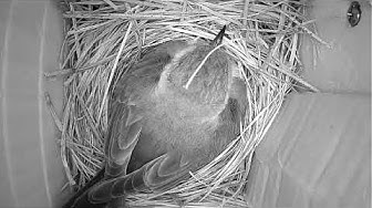 Bluebird Mom on eggs photo